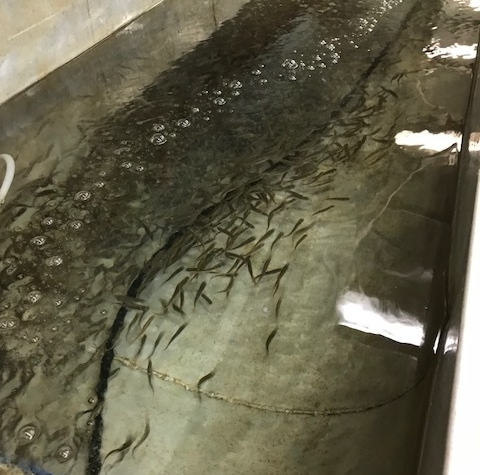 Coho Fry Moved into Watersheds - June 13, 2018About 1/2 of the Coho Fry, incubated from eggs of 2017 Fall egg take, have been released into the surrounding watersheds. The remaining Coho will be clipped and will grow safely in our rearing pond until May of 2019 when they will be released as Smolts.