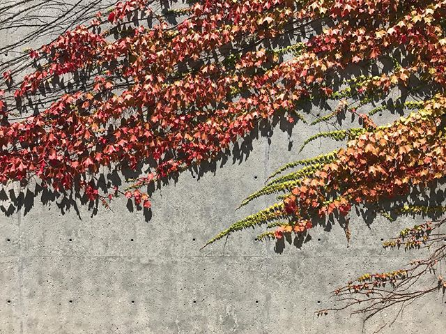 Leaves in motion. #myperspective #design #archdaily #archidaily #archiporn #architexture #architecture #archilovers #architecturelovers #california #paloalto #manvsnature #concrete #igerssf #igersbayarea #wildbayarea #wildcalifornia