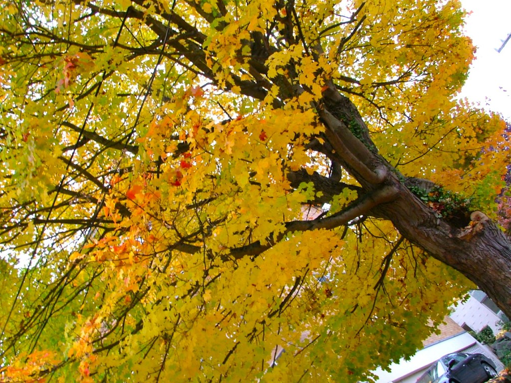 Gorgeous tree somewhere in Capitol Hill, Seattle