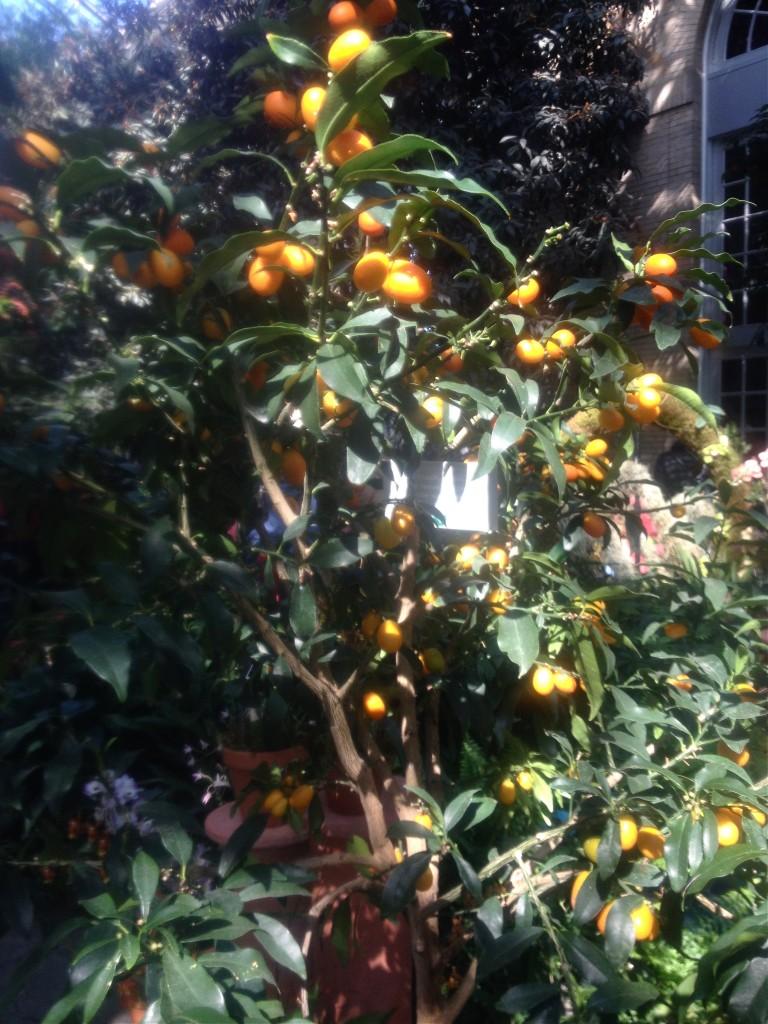 BG kumquats