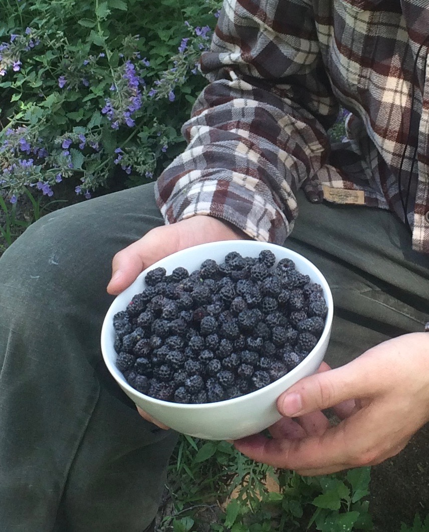 A close-up of a man's hands holding a white bowl full of dark black raspberries.