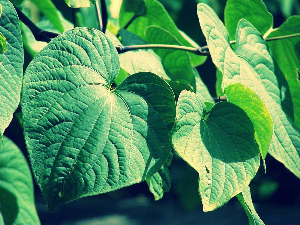 Kava plant Chillzips Panic Stopper