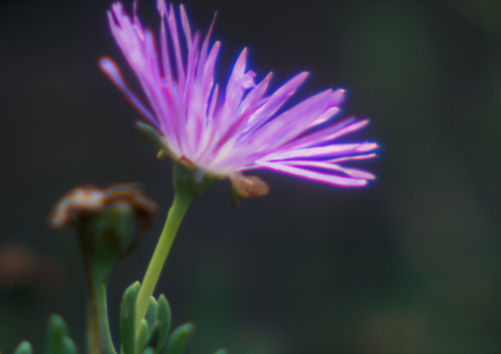 Mauve Flower taken with a self made lens - (c) Jim Crew 2017