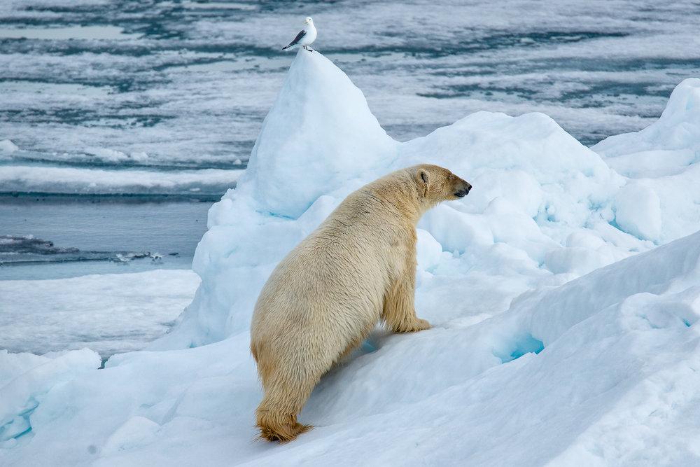 Polar Bear near Svalbard (c) Michael Smyth 2017