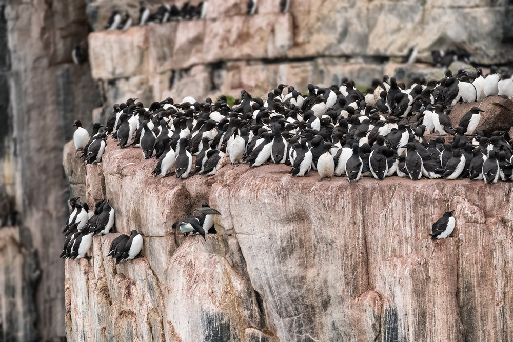 Guillemots on The Edge (c) Michael Smyth 2018
