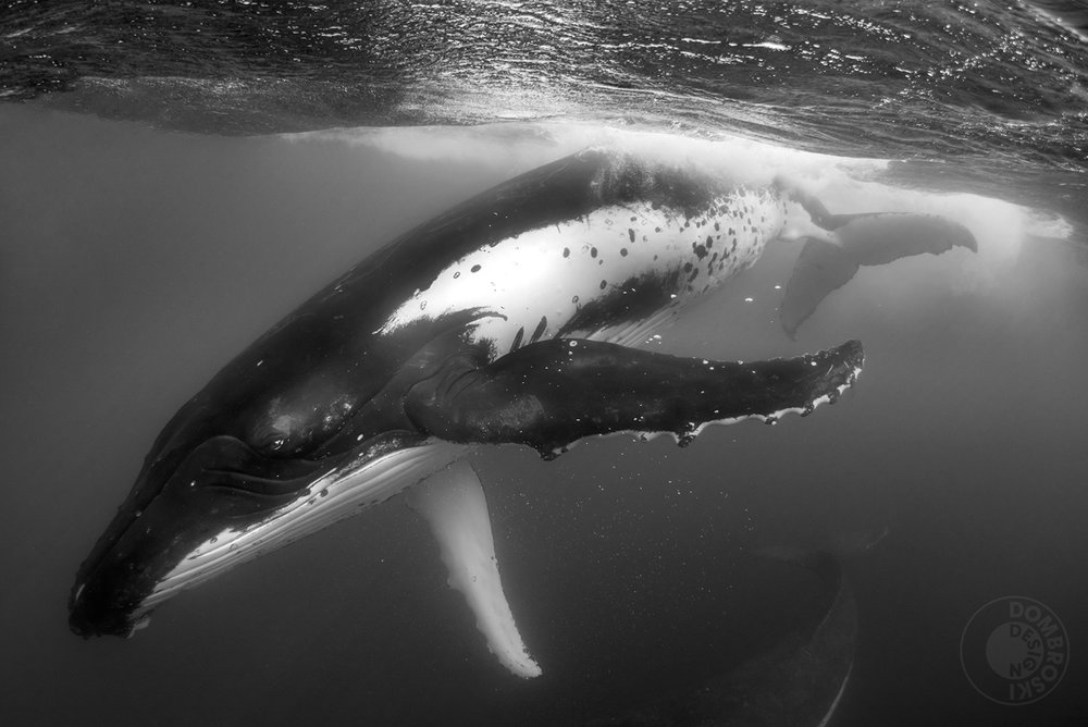 45 feet in length. 80,000 pounds. Humpback whales are some of the most gentle creatures you can witness in the wild.
