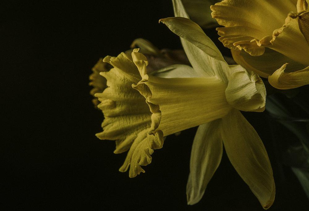 Daffodils 1.jpg