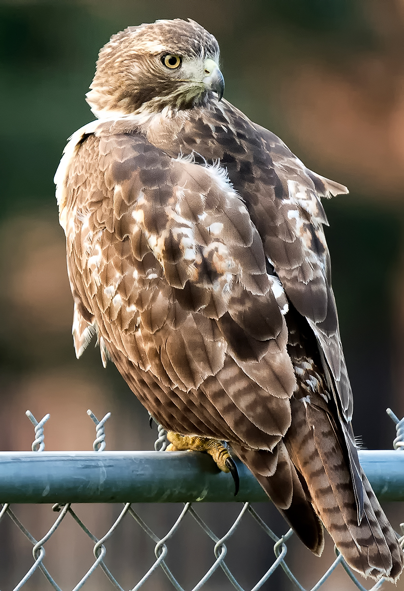Red Tail Hawk at Rice 1.jpg