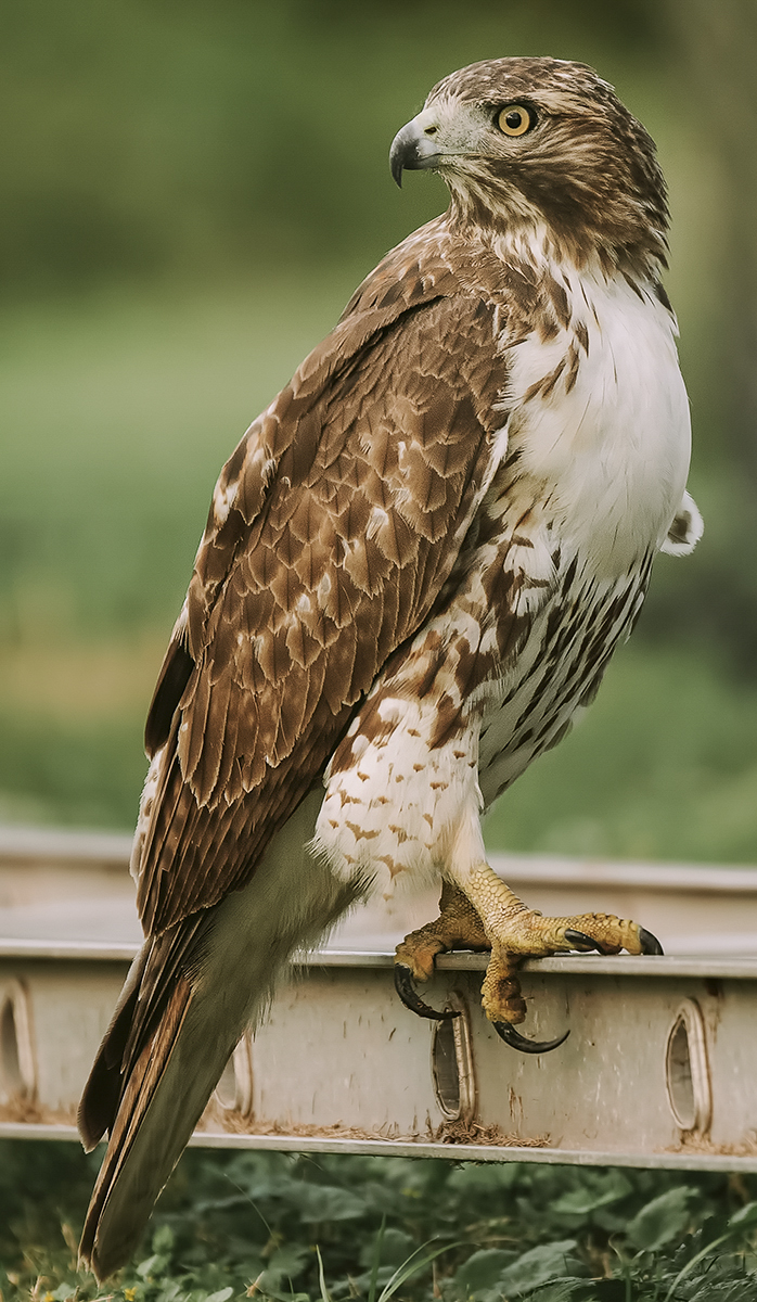 Red Tail Hawk at Rice 2.jpg