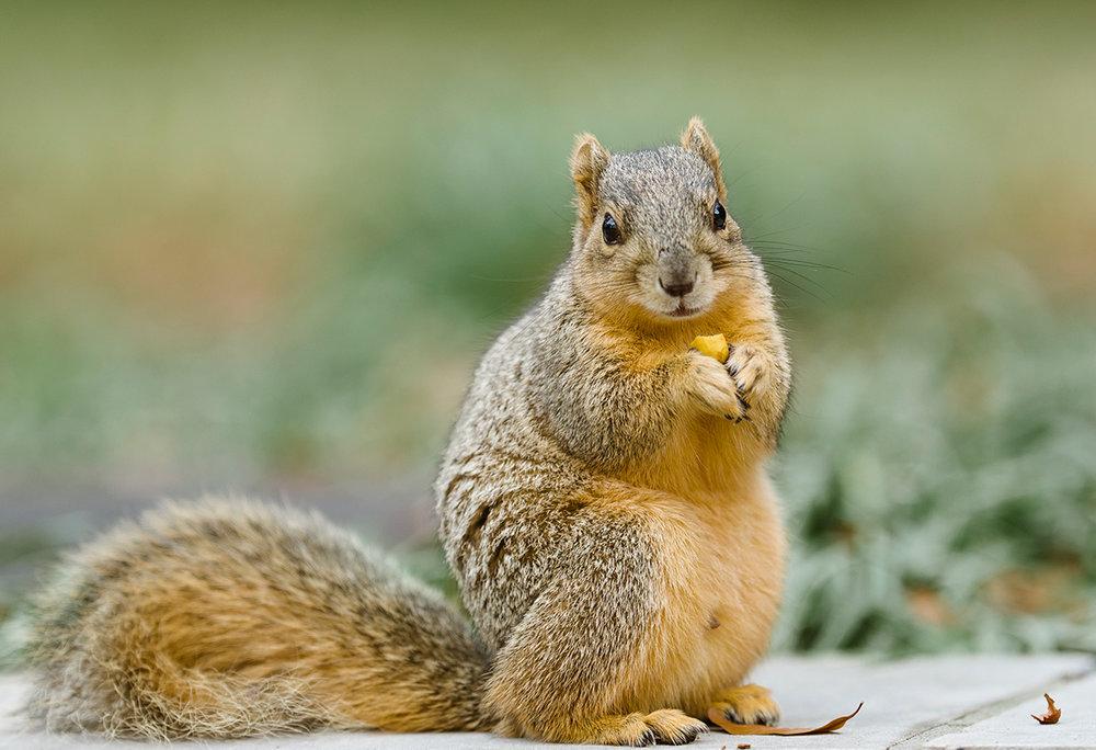Rice Squirrels 2.jpg