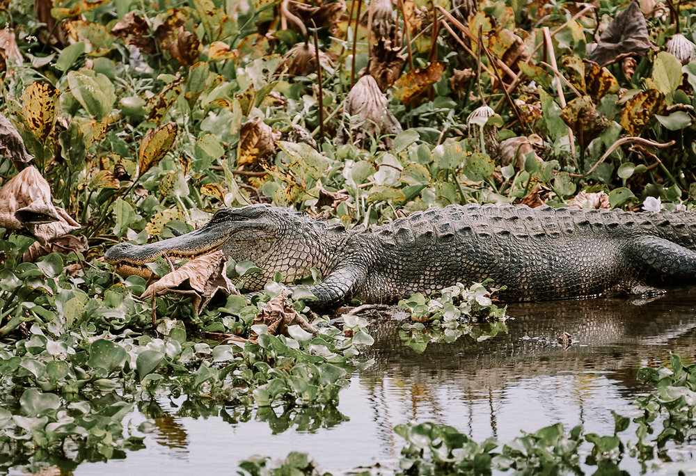 Gator at Brazos 1.jpg