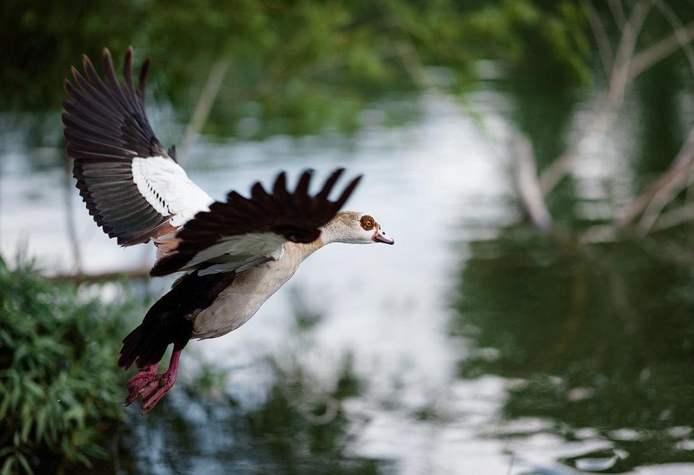 Wild Ducks 1.jpg