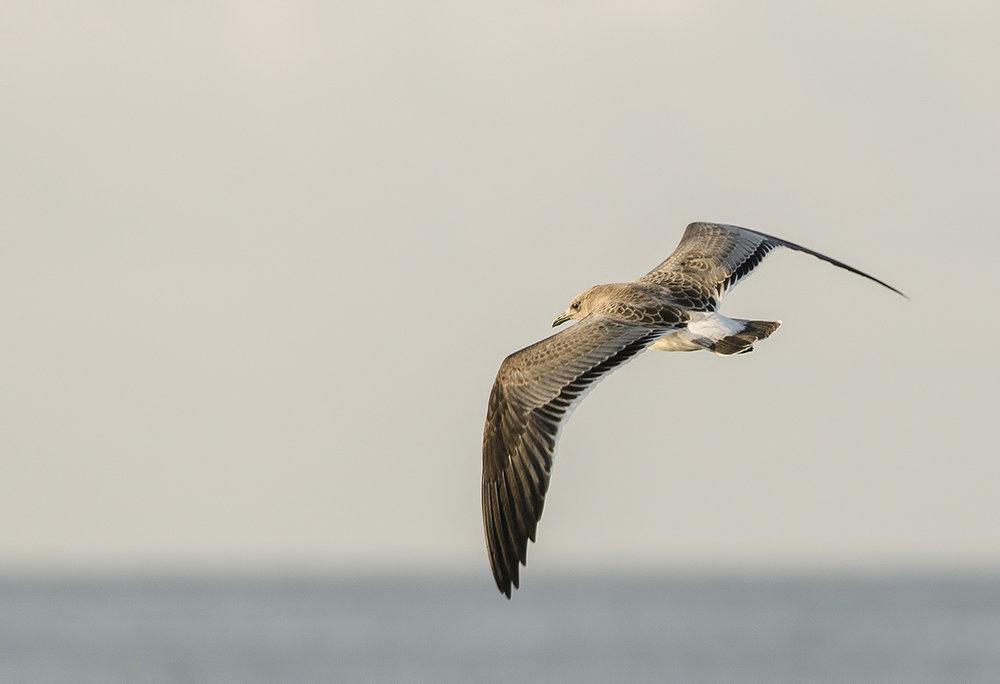 Galveston Seagull.jpg