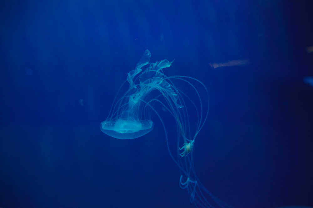 Jellyfish, Acquario di Genova, ©alketamisja photography, August 2016
