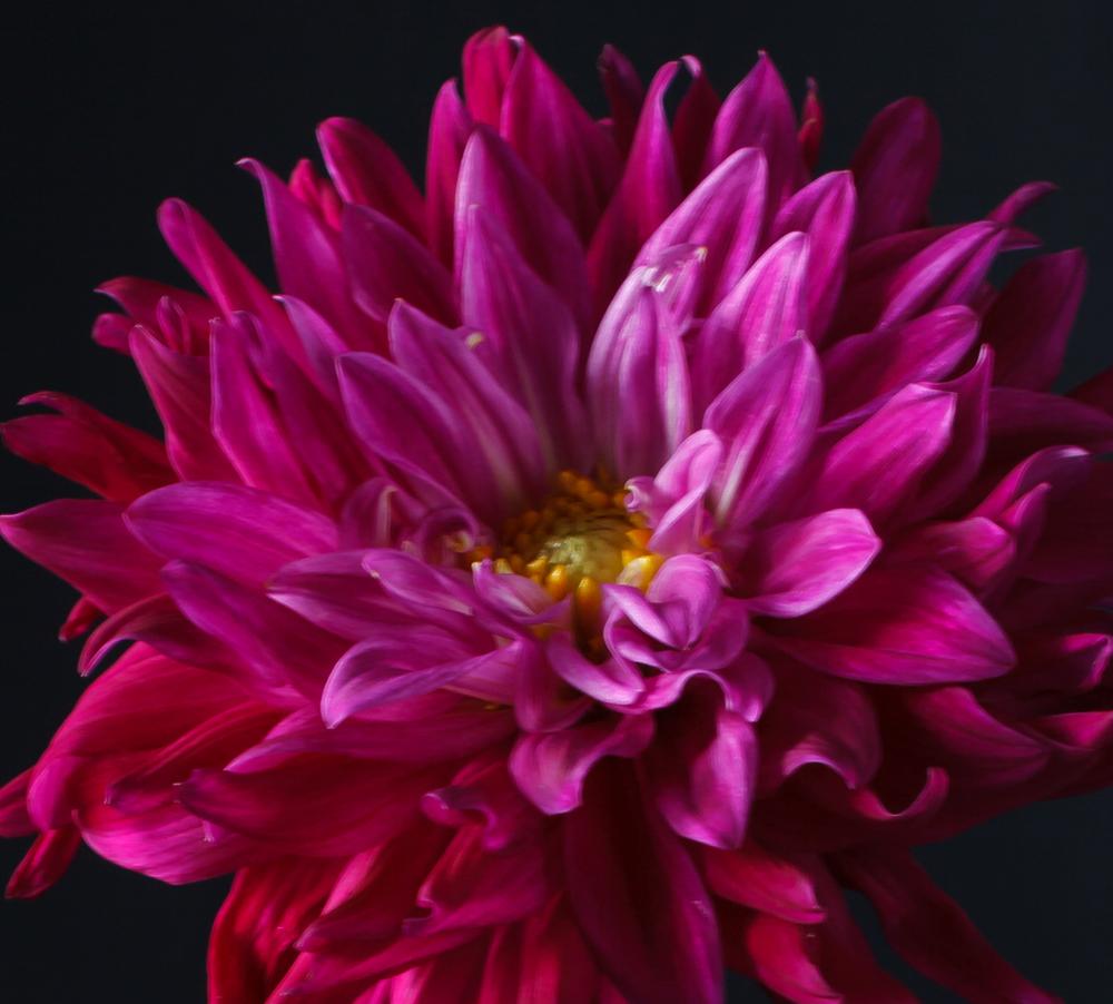 still-life-flower-magenta-3.jpg