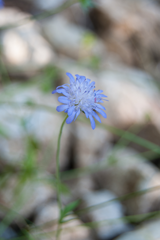 Wild Flower, Orosh Mirditë, © alketa misja photography 2008