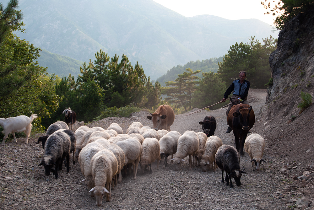 Shepherd returning from pastures, Orosh Mirditë, © alketa misja photography 2008