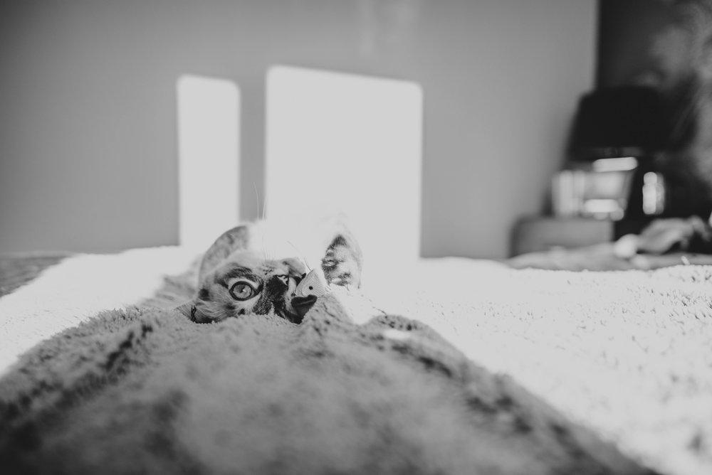 Ragdoll Kitten in beam of light on bed Essex UK Documentary Photographer