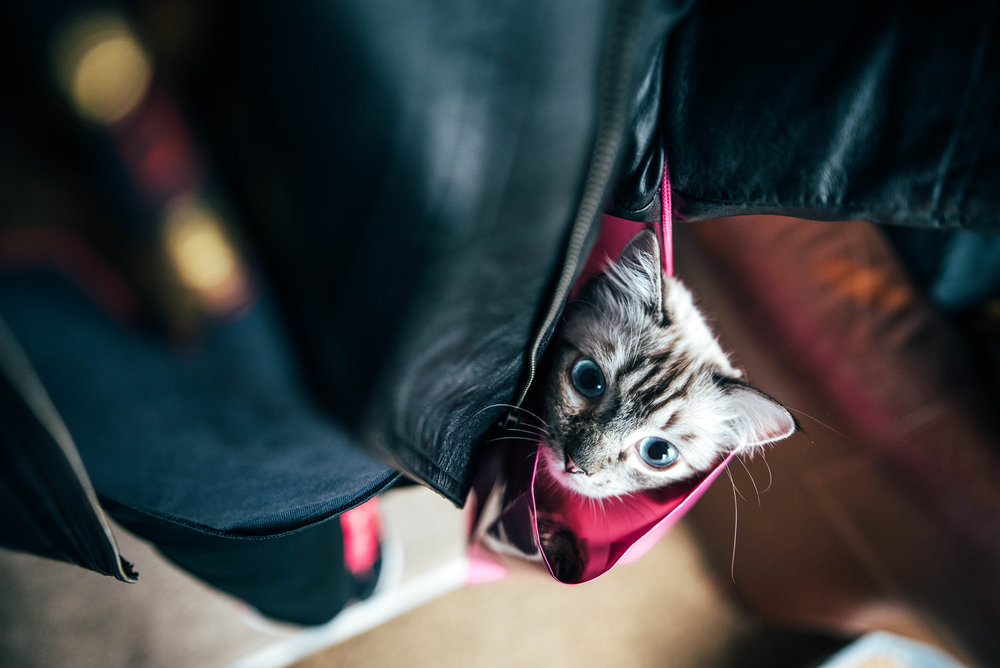 Ragdoll Cat peers out of bag Essex UK Documentary Portrait Photographer