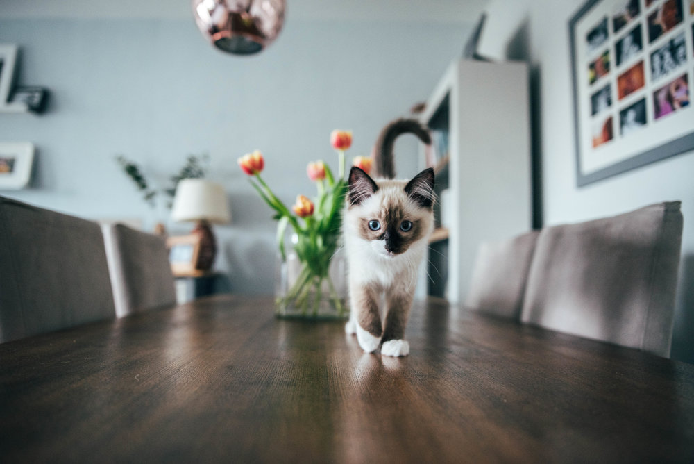 Ragdoll Kitten on table Essex UK Documentary Portrait Photographer