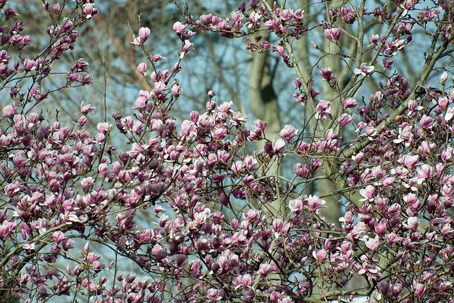 Magnolia × soulangeana blooms