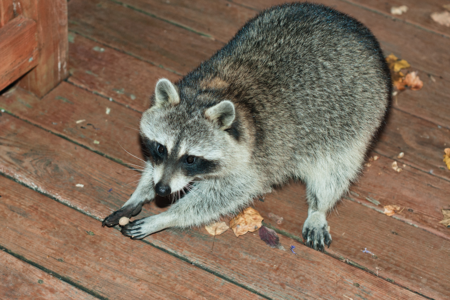 raccoon stealing food.jpg