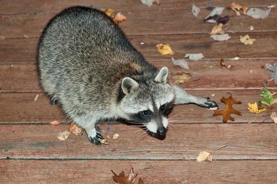raccoon stealing peanuts.jpg