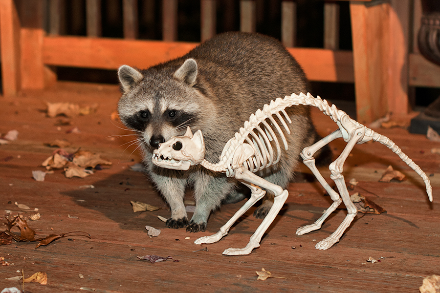 raccoon meets cat skellet.jpg