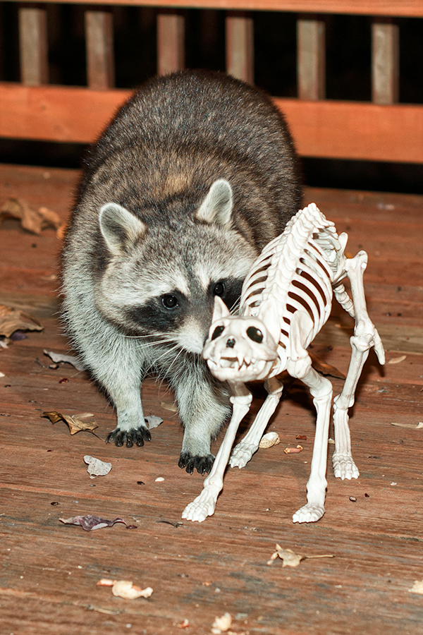raccoon and cat skellet 2.jpg
