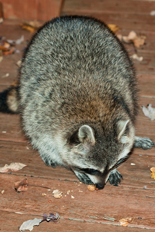 fluffy raccoon eating peanuts