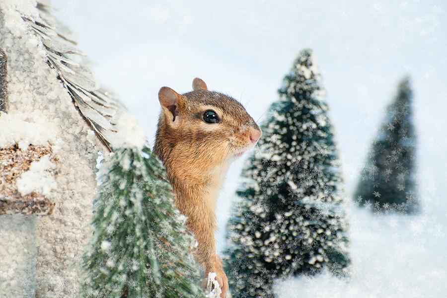_DSC0328_Christmas_chipmunk.jpg