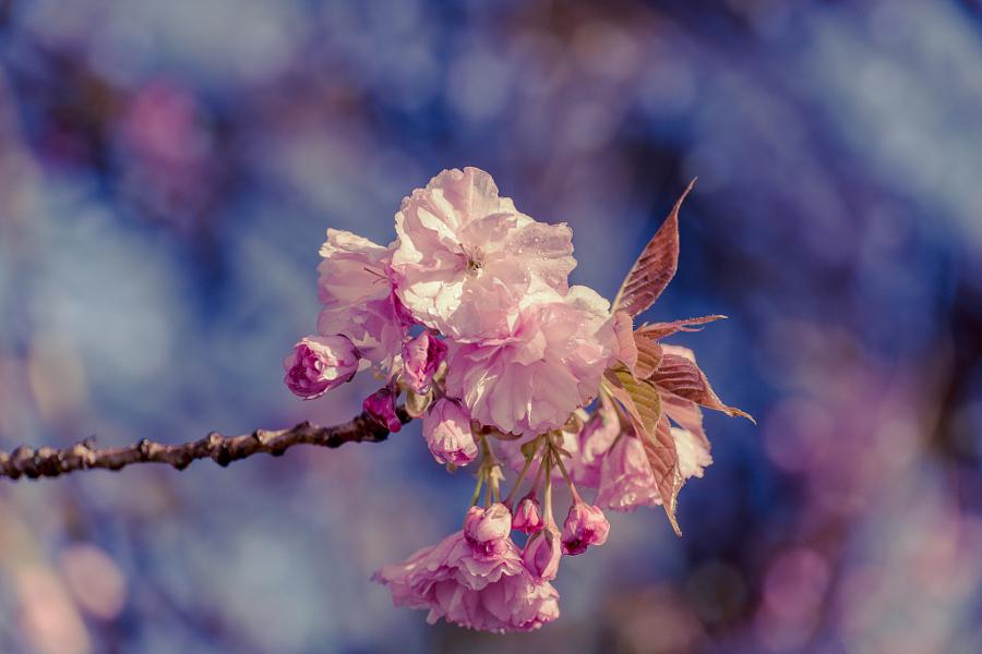 Kwanzan Cherry Tree Blossom