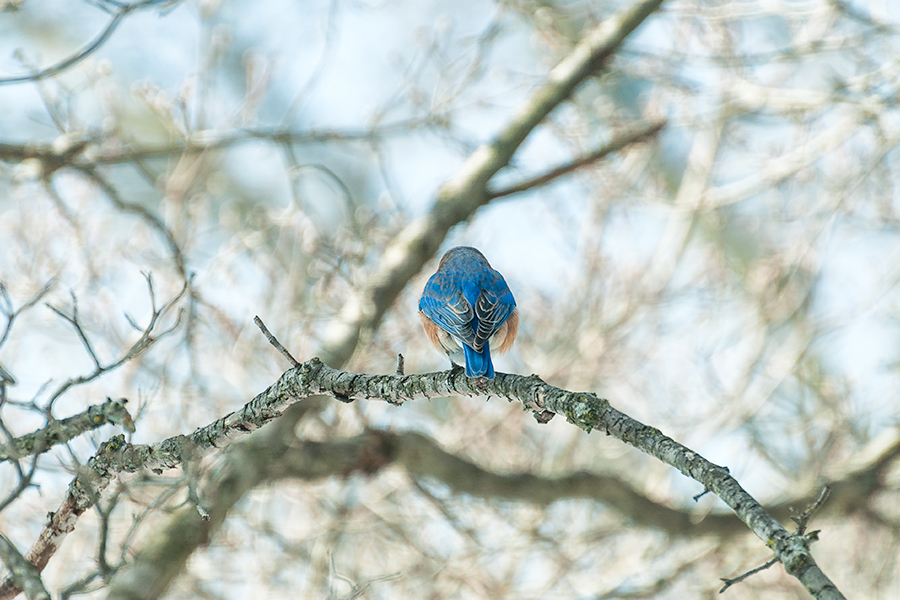 _DSC5822-eastern-bluebirds-winter.jpg