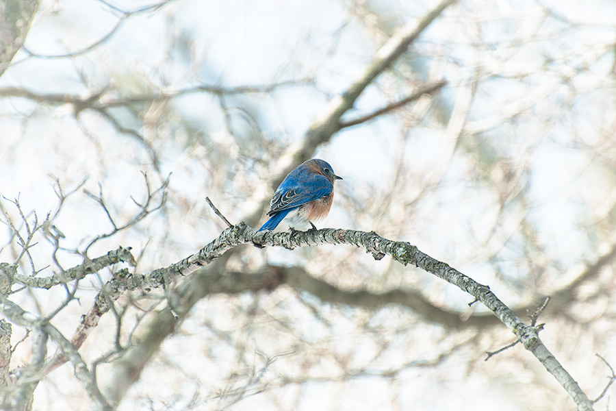 _DSC5836-eastern-bluebirds-winter.jpg