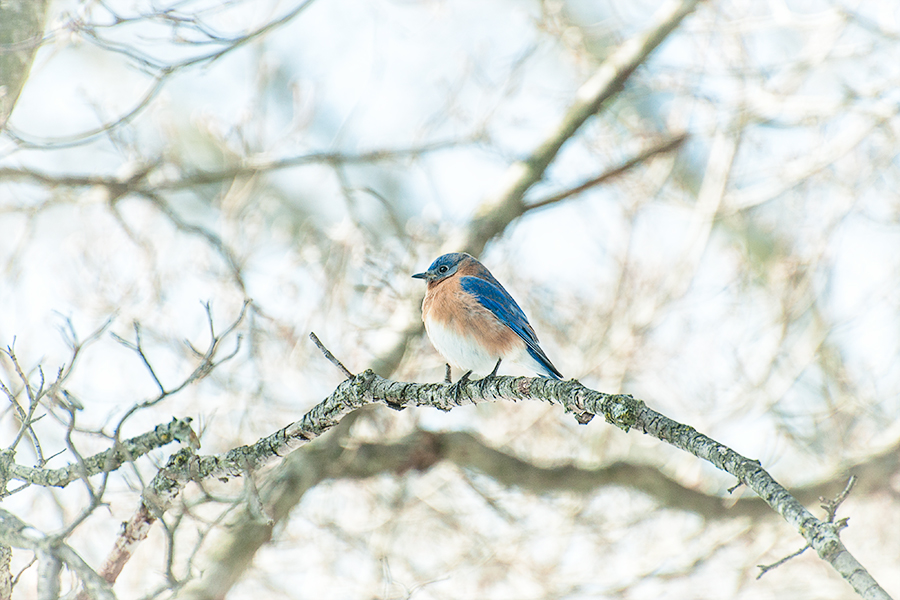 _DSC5881-eastern-bluebirds-winter.jpg