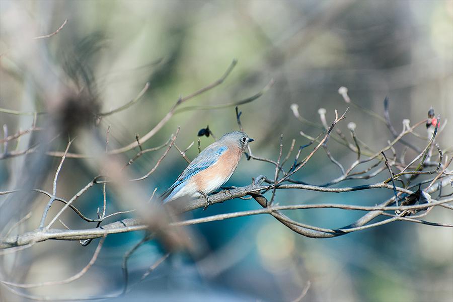 _DSC0166-eastern-bluebird.jpg