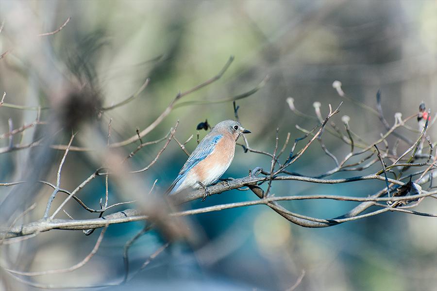 _DSC0168-eastern-bluebird.jpg