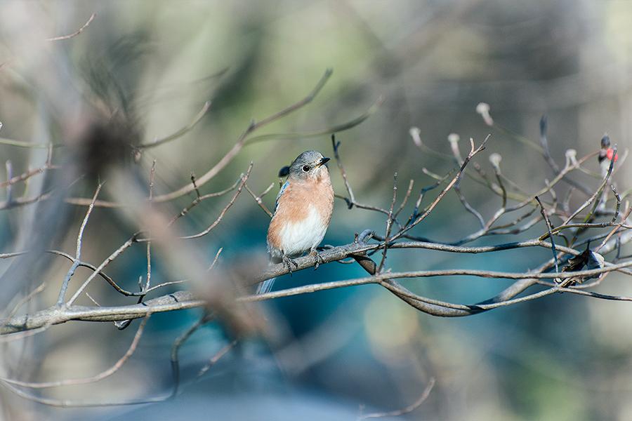 _DSC0170-eastern-bluebird.jpg