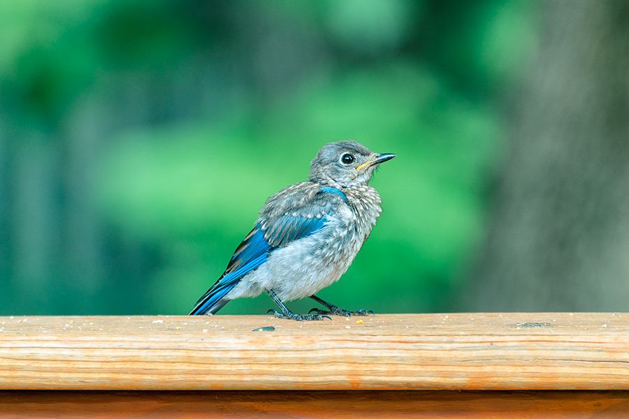 The western bluebird is shorterwinged and shortertailed than the mountain bluebird producing similar wingtail ratio and different primary projection