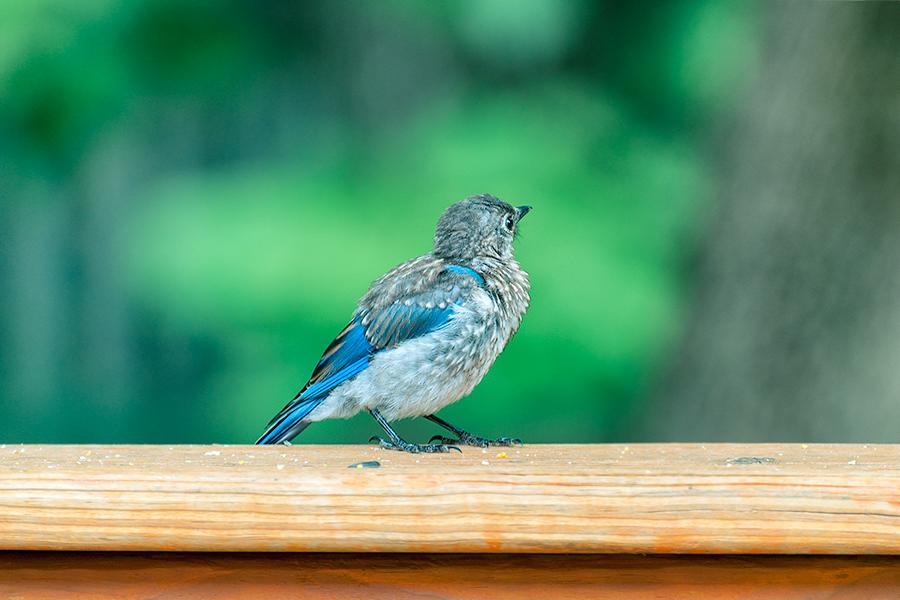 _DSC0032-eastern-bluebird-juvenile.jpg