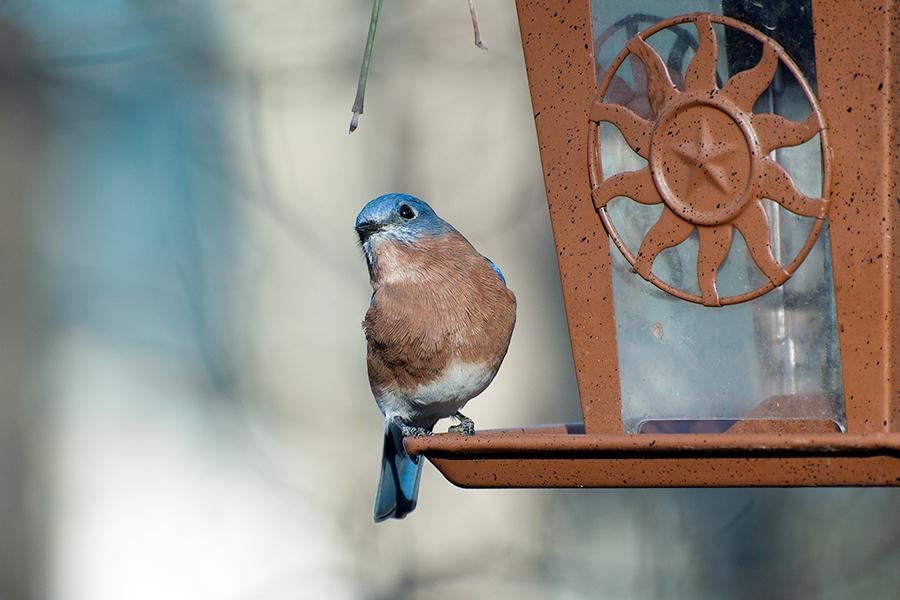 _DSC0218 Eastern Bluebird