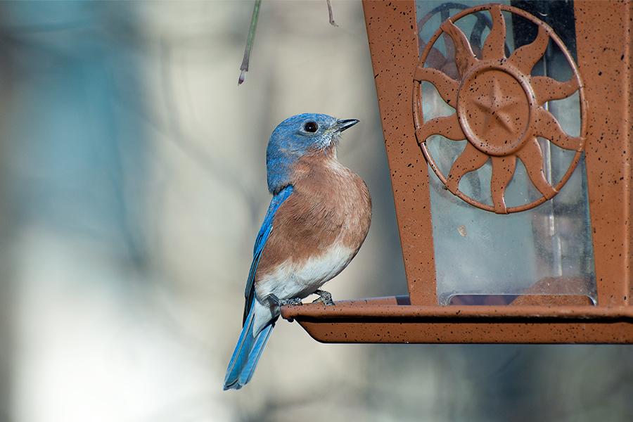 _DSC0216-eastern-bluebird.jpg