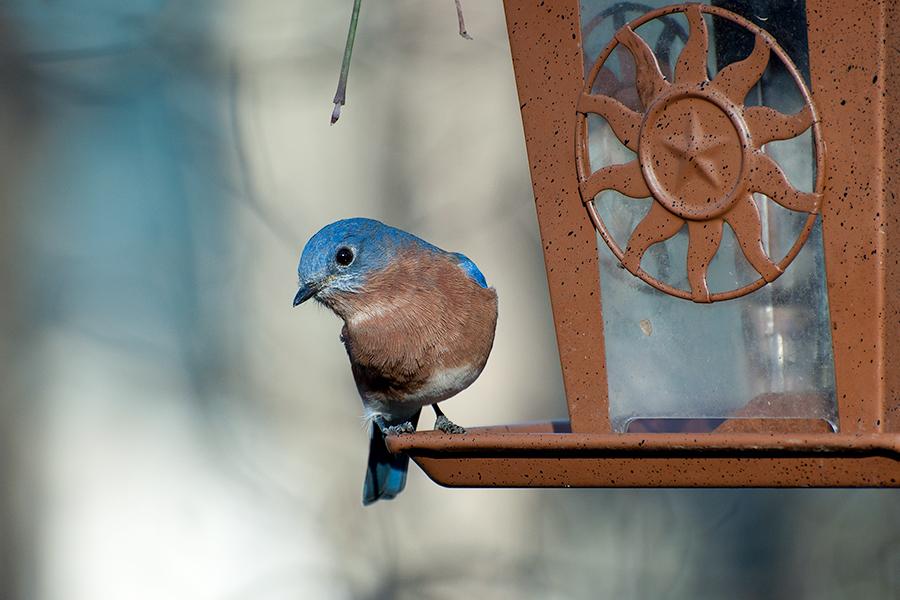 _DSC0220-eastern-bluebird.jpg