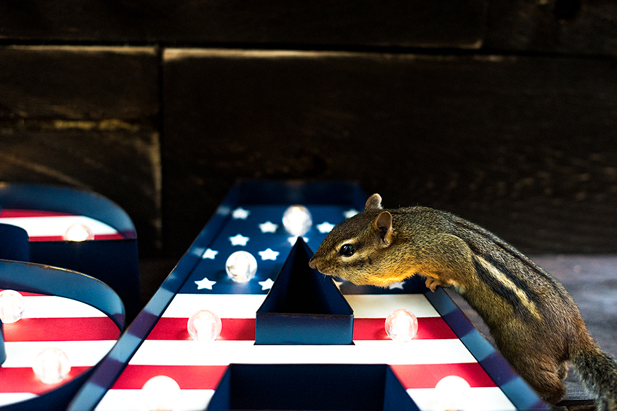 USA Chipmunk (print available)