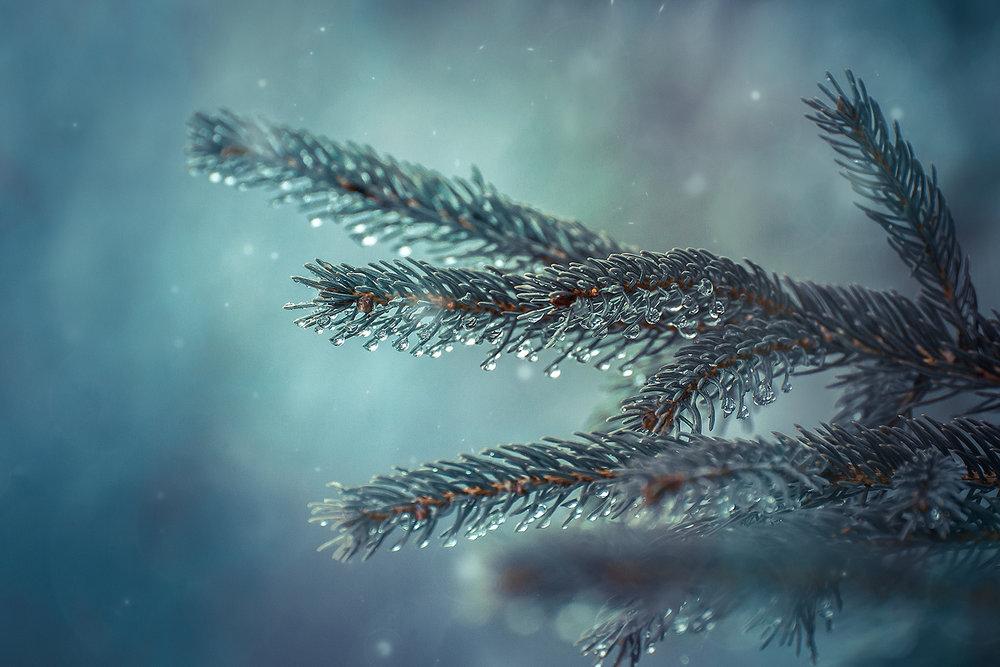 _DSC3368-pine-rain-1000.jpg