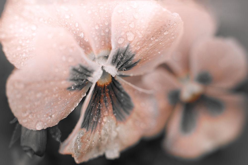 _DSC9626-false-grey-pink-pansy-1000.jpg