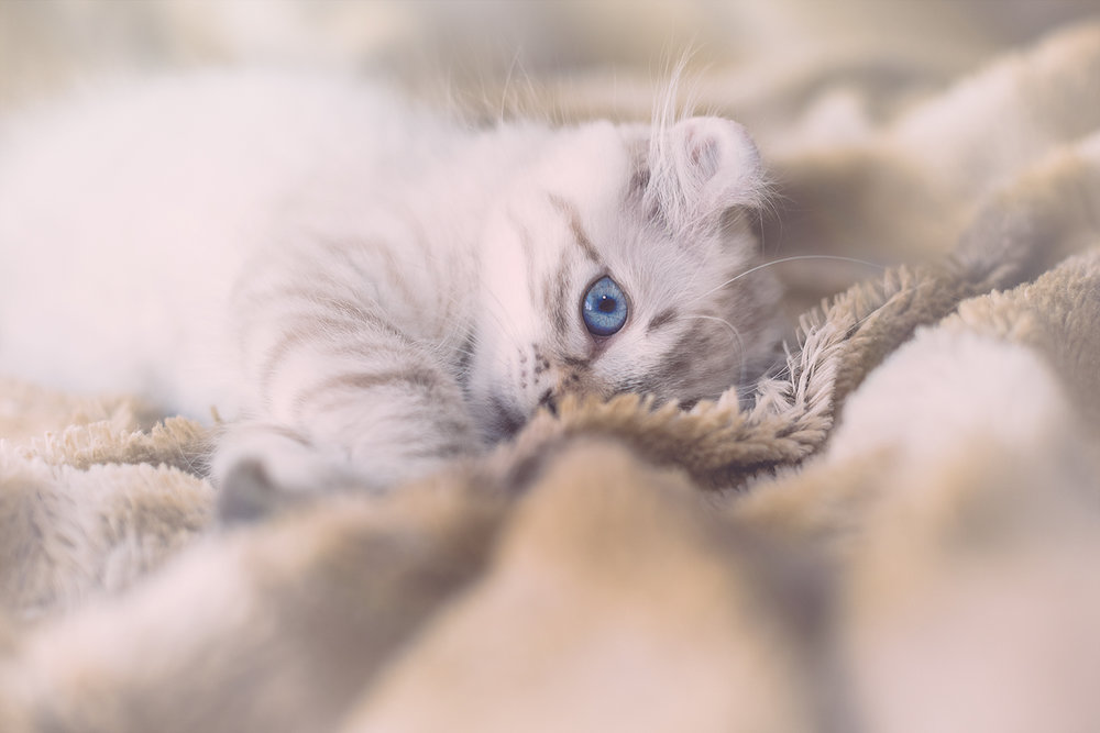 _DSC5573-blue-eyes-highland-lynx-castiel-1000.jpg