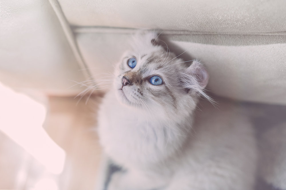 _DSC5645-castiel-blue-eyes-highland-lynx-1000.jpg