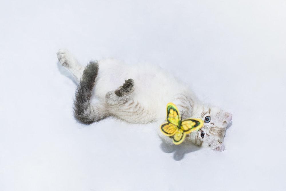 _DSC6103-castiel-highland-lynx-butterfly-1000.jpg