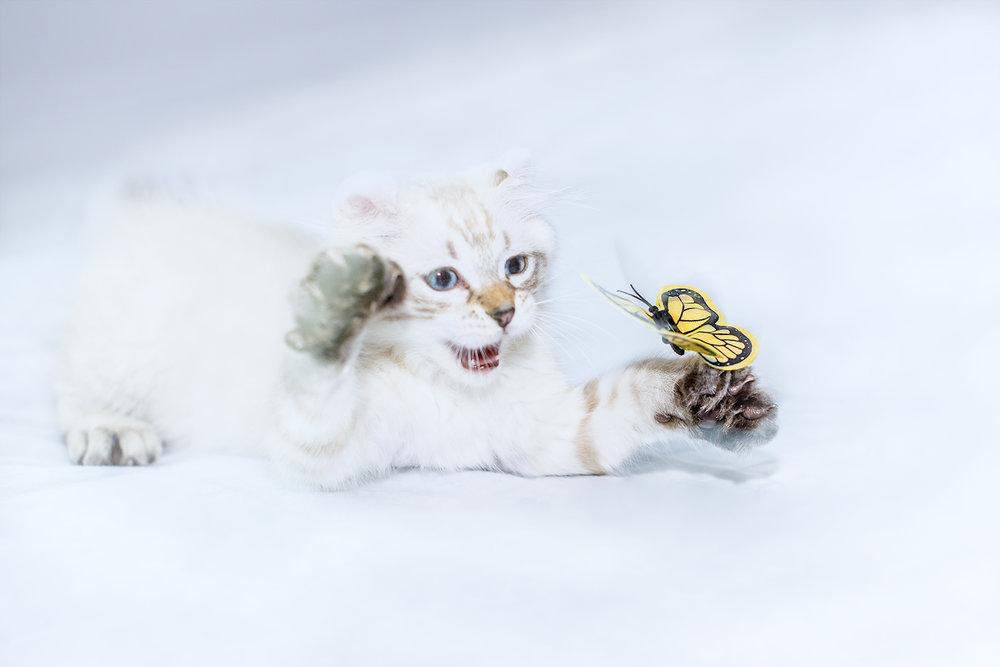 _DSC6209-castiel-highland-lynx-butterfly-1000.jpg